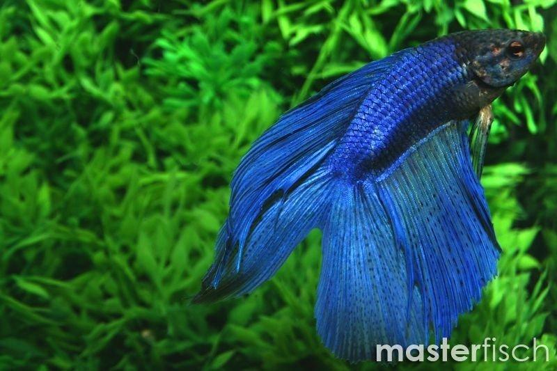 Siamesischer kampffisch lyre masterfisch for Siamesischer kampffisch