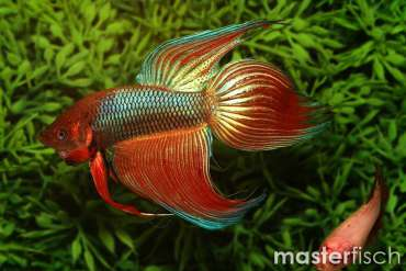 Mix Fighting Fish