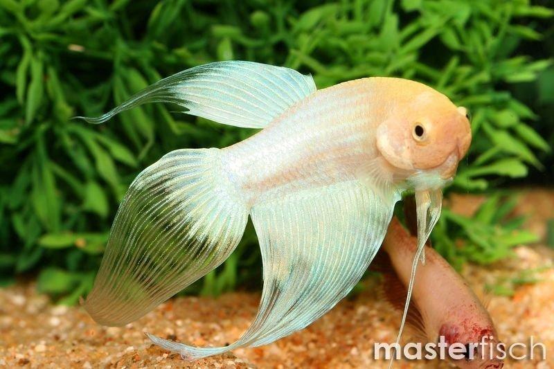 Siamesischer kampffisch weiss masterfisch for Siamesischer kampffisch