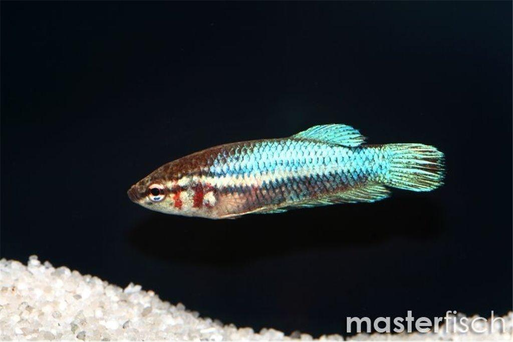 siamesischer kampffisch weibchen masterfisch