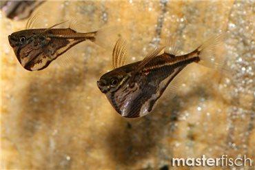 Marmorbeilbauchfisch