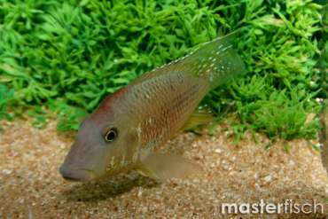 Red Hump Earth-Eater Cichlid