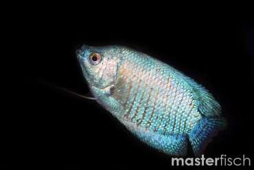 Zwergfadenfisch blau