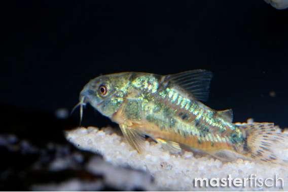 Peppered Corydoras - MasterFisch