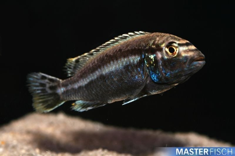 Malawi Golden Auratus Cichlid - MasterFisch