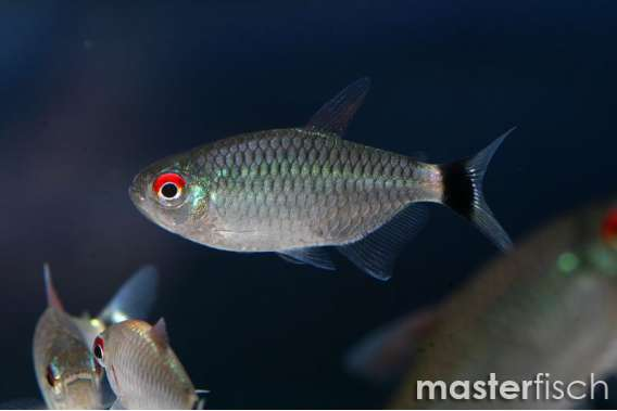 Red Eye Tetra - MasterFisch