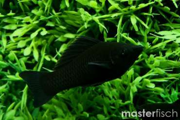 Black Molly (Spitzmaulkärpfling)
