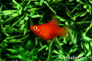 Red coral Platy