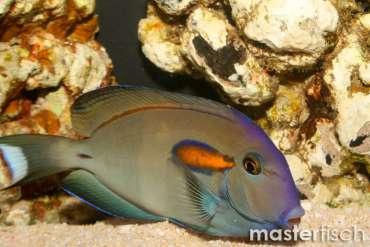 Orange-blotch Surgeonfish Adult