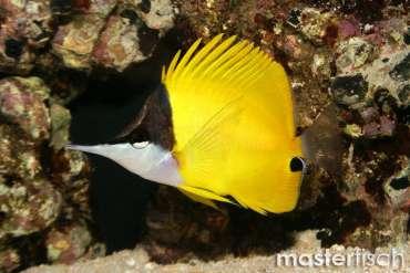 Gelber Langnasen Pinzettfisch