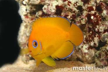 Zitronen Zwergkaiserfisch
