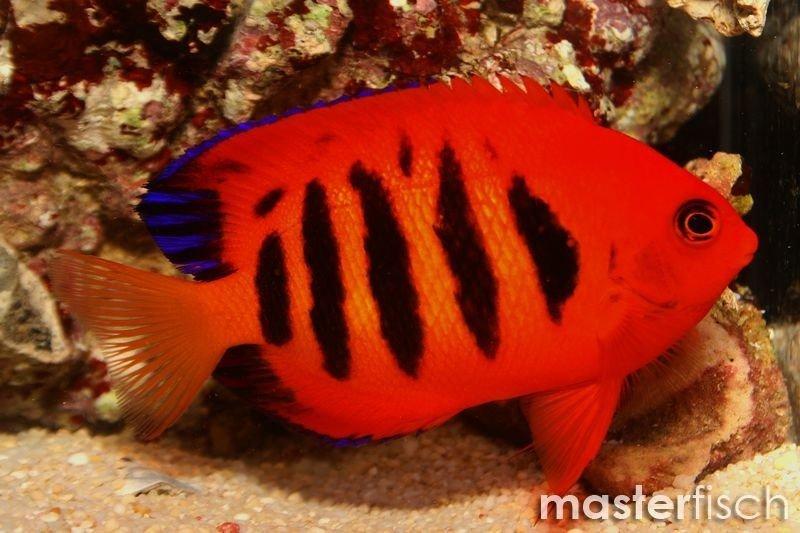 flammenzwergkaiserfisch  masterfisch