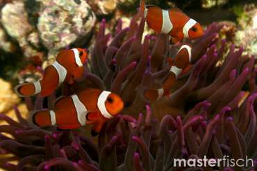 Clown Anemonefish (Clownfish) - breeded