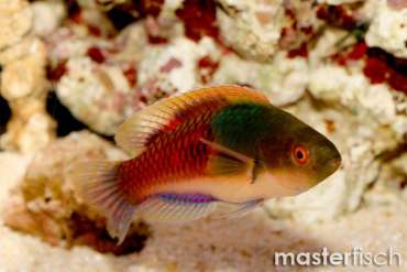 Blauschuppen-Zwerglippfisch
