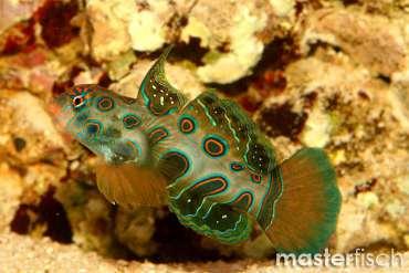 LSD Mandarin-Fisch