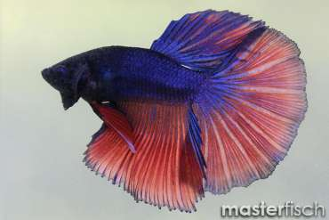 Figthing Fish Half Moon (male)