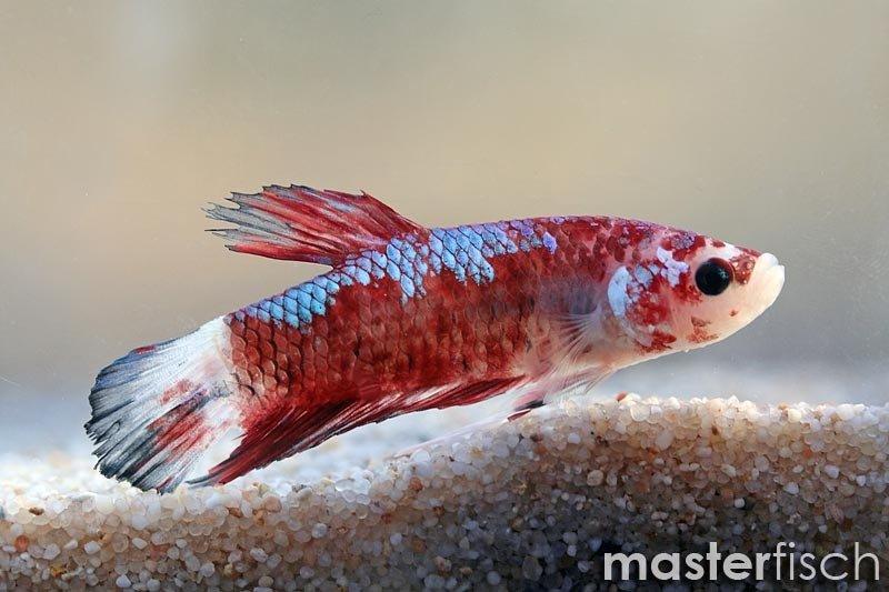 Siamesischer kampffisch hmpk koi fancy masterfisch for Siamesischer kampffisch