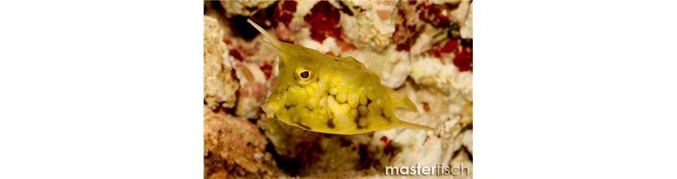 Boxfish/Cowfish and Pufferfish/Globefish