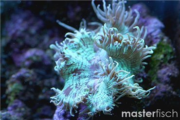 Stone corals (! EU only !)